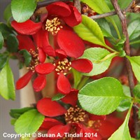 Chaenomeles Hot Fire Shrub 4L Deep Pot