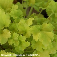Heuchera Lime Marmalade Perennial in a 2L Pot