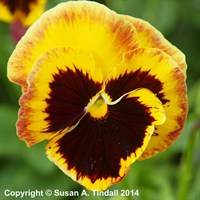 Pansy F1 Fire Surprise 6 Pack Boxed Bedding
