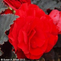 Begonia Mocca Scarlet 6 Pack Boxed Bedding