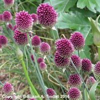 Allium Sphaerocephalon Perennial Plant in a 2L Pot