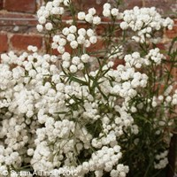 Achillea The Pearl Perennial Plant in a 9cm Pot