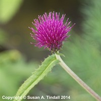 Cirsium Rivulare Trevors Blue Wonder Perennial Plant in a 2L Pot