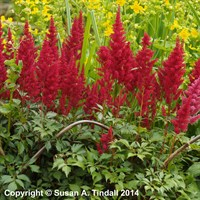 Astilbe Are Fanal Perennial Plant in a 9cm Pot