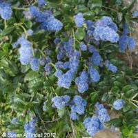 Ceanothus Yankee Point Shrub 4L Deep Pot