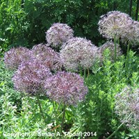 Allium Cristophii Perennial Plant in a 2L Pot