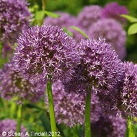 Allium Purple Sensation Perennial Plant in a 2L Pot