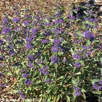Caryopteris Kew Blue Shrub 3L Pot