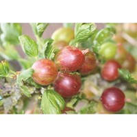 Gooseberry (Ribes) Hinnomaki Red Bush 3L Fruit Tree - Direct Dispatch