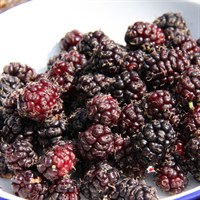 Mulberry (Morus) Chelsea (King James) Half-Standard 12L Fruit Tree - Direct Dispatch