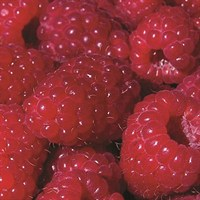 Raspberry (Rubus) Erika Root Wrapped Pack Of 5 Fruit Tree - Direct Dispatch