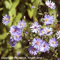 Aster Little Carlow Perennial in a 2L Pot