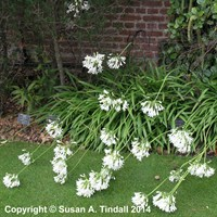 Agapanthus Polar Ice Perennial Plant in a 2L Pot