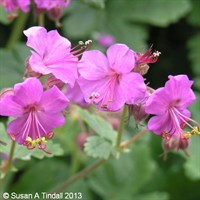 Geranium F1 Multibloom Rose 6 Pack Boxed Bedding