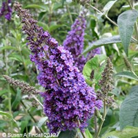 Buddleia Empire Blue Shrub 3L Pot