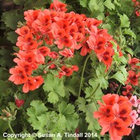 Geranium F1 Multibloom Salmon 6 Pack Boxed Bedding
