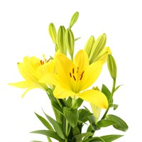 Asiatic Lily (x 4 stems) - Yellow