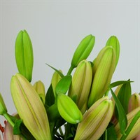 Asiatic Lily (x 4 stems) - Pink