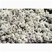 Alyssum Snowdrift 12 Pack Boxed Bedding