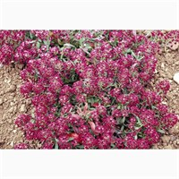 Alyssum Rosie O Day 12 Pack Boxed Bedding