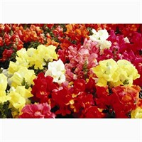 Antirrhinum F1 Coronette Mixed 12 Pack Boxed Bedding