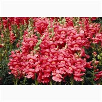 Antirrhinum F1 Coronette Bronze 12 Pack Boxed Bedding