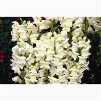 Antirrhinum F1 Coronette White 12 Pack Boxed Bedding