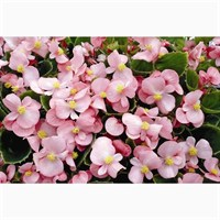 Begonia Pink Green Leaf 12 Pack Boxed Bedding