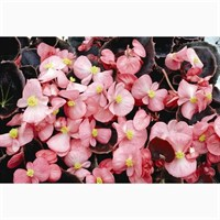 Begonia Pink Bronze Leaf 12 Pack Boxed Bedding