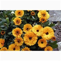 Calendula Littleball Orange 6 Pack Boxed Bedding