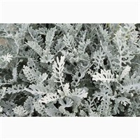 Senecio cineraria Silverdust 6 Pack Boxed Bedding