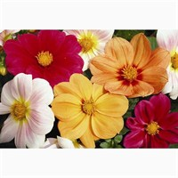 Dahlia Figaro 6 Pack Boxed Bedding