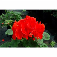 Geranium Maverick Scarlet 6 Pack Boxed Bedding
