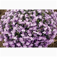 Lobelia Riviera Lilac (Bush) 12 Pack Boxed Bedding