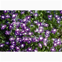 Lobelia Mrs Clibran (Bush) 12 Pack Boxed Bedding