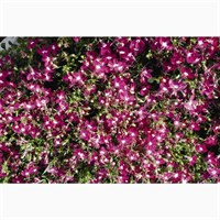 Lobelia Rosamond (Bush) 12 Pack Boxed Bedding