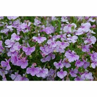 Lobelia Lilac Fountain (Trailing) 12 Pack Boxed Bedding