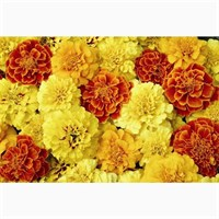 Marigold Durango Mixed 12 Pack Boxed Bedding