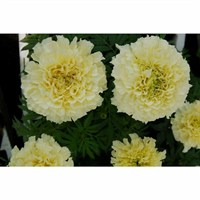 Marigold Antigua Vanilla 6 Pack Boxed Bedding