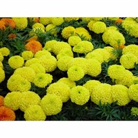 Marigold Antigua Yellow 6 Pack Boxed Bedding