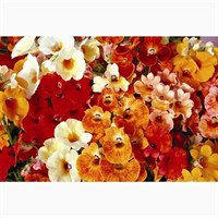 Nemesia Sundrops 6 Pack Boxed Bedding