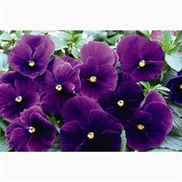 Pansy F1 Violet 6 Pack Boxed Bedding
