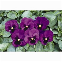Pansy F1 Blue With Blotch 6 Pack Boxed Bedding
