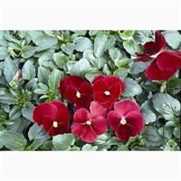 Pansy F1 Rose 6 Pack Boxed Bedding