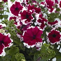 Petunia Grandiflora Velvet Ice 6 Pack Boxed Bedding