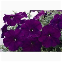 Petunia (Trailing) Wave Blue 6 Pack Boxed Bedding