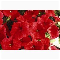 Petunia (Trailing) Wave Red 6 Pack Boxed Bedding