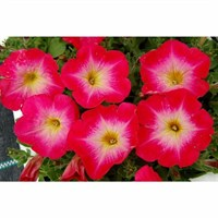 Petunia F1 Frenzy Rose Dawn 12 Pack Boxed Bedding