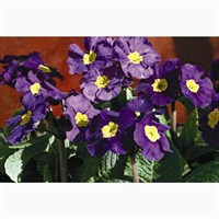 Polyanthus F1 Crescendo Blue 6 Pack Boxed Bedding