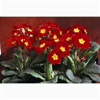 Polyanthus F1 Crescendo Red 6 Pack Boxed Bedding